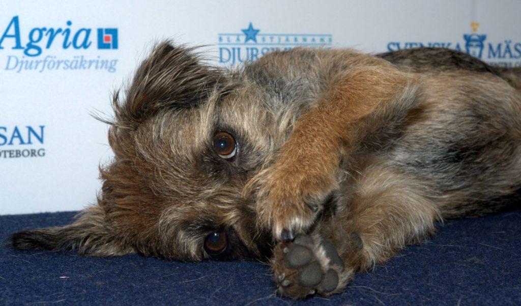 Border Terrier Taiga MyDOG 2014